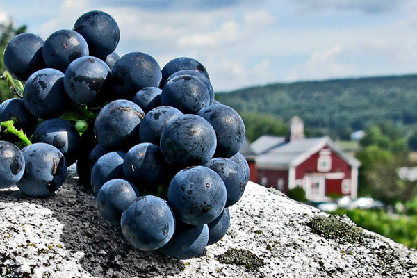 A bunch of purple grapes in the foreground with a red barn building and rolling green hills in the background.
