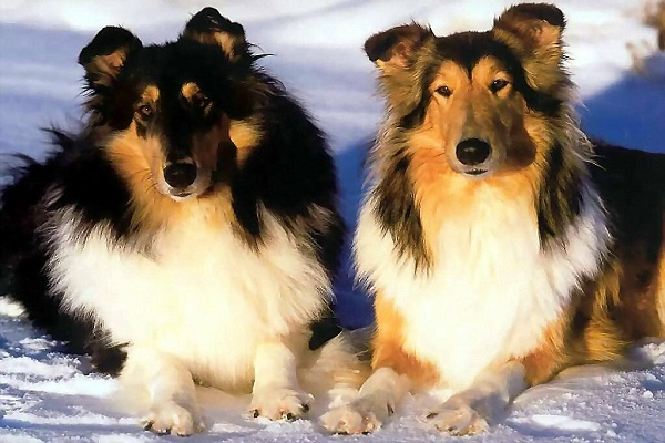 Two collies laying in the snow, side by side on a sunny day.