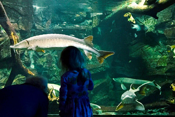 A girl and her grandparent view the sturgeons in the fish tank at ECHO.